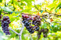 Ripe grape pick up in the vineyards Stock Photography