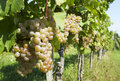 Ripe grape in vineyard Royalty Free Stock Image