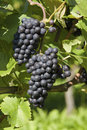 Ripe grapes on grapevine Royalty Free Stock Image