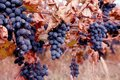 Ripe grapes moldova with red leaves and branches Royalty Free Stock Photos