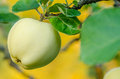 Ripe green apple in a tree with fall colors in background Royalty Free Stock Image