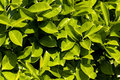 Ripe,green Leaves of Cherry Laurel Stock Photography