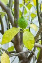 Ripe green lime on a citrus tree branch. Natural fresh lime fruit, sour taste