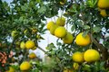 Ripe and green pomelo fruit tree in the garden. Royalty Free Stock Photo