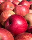 Ripe honey crisp apples closeup of freshly harvested Royalty Free Stock Photo
