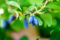 Ripe Honeysuckle Berries on the Bush Royalty Free Stock Photo