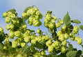 Ripe hop Royalty Free Stock Images