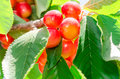 Ripe juicy sweet rainier cherry white berry fruits sunlit on tree branch with leaves in orchard Royalty Free Stock Photos