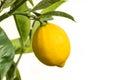 Ripe lemon on lemon tree isolated on white background with copy space Royalty Free Stock Photo