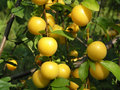 Ripe lemons on tree Royalty Free Stock Photo