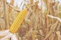 Ripe maize corn on the cob Royalty Free Stock Photo