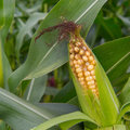Ripe maize corn crop in the fields Stock Images