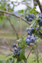 Ripe mountain blueberries close up of on a bush Royalty Free Stock Photos