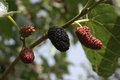 Ripe mulberry fruit Royalty Free Stock Photo
