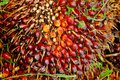 Ripe oil palm fruit bunch Stock Photo