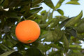 Ripe orange on the tree before harvest Stock Photography