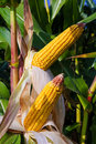 Ripe organic corn (maize) Royalty Free Stock Photos