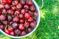 Ripe Organic Freshly Picked Sweet Cherries in White Metal Colander on Green Grass in Garden. Nature Background. Summer Harvest Royalty Free Stock Photo