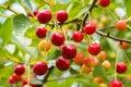 Ripe organic homegrown cherries tree branch Royalty Free Stock Photos