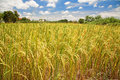 Ripe paddy rice field at harvest against blue sky Stock Images