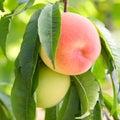 Ripe peach Royalty Free Stock Photo