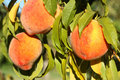 Ripe Peaches Royalty Free Stock Photos