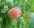 Ripe peaches Stock Image