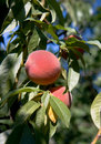 A ripe peaches on the tree Stock Photo