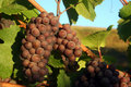 Ripe Pinot Gris Grapes Stock Image