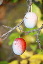Ripe plum growing on a tree Stock Photo