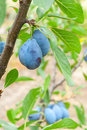 Ripe plums on a branch Royalty Free Stock Images