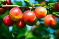 Ripe plums on a branch Royalty Free Stock Photography