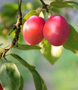 Ripe plums on the tree Royalty Free Stock Photo