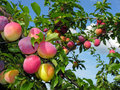 Ripe plums on a tree branch Royalty Free Stock Photos
