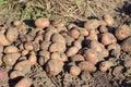Zrelý zemiakov je v zeleninový záhrada vemeno hore zemiaky úroda zelenina