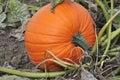 Ripe pumpkin in the field Royalty Free Stock Photo