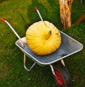 Ripe pumpkins in the garden cart. Stock Photography