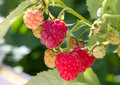 Ripe raspberries branch Stock Photos