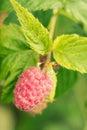 Ripe raspberries on a branch Stock Photos