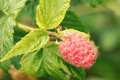 Ripe raspberries on a branch Royalty Free Stock Photography