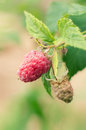 Ripe raspberries on a branch Royalty Free Stock Photo