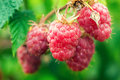 Ripe raspberries on a branch Stock Image