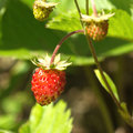 Ripe raspberries grows closeup red strawberry in grass Royalty Free Stock Photography