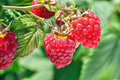 Ripe raspberry Stock Images