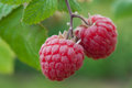 Ripe raspberry 5 Stock Photo