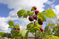 Ripe raspberry ripens raspberries on sky background focus on top twig with raspberries Stock Image