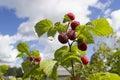 Ripe raspberry ripens raspberries on sky background focus on top twig with raspberries Stock Image