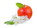 Ripe red apple and apple tree flowers isolated on a white background Stock Photo