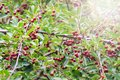 Ripe red cherries on the tree with sunny hotspot Royalty Free Stock Photo