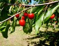 Ripe red cherry berries on a tree branch in the garden Royalty Free Stock Photo